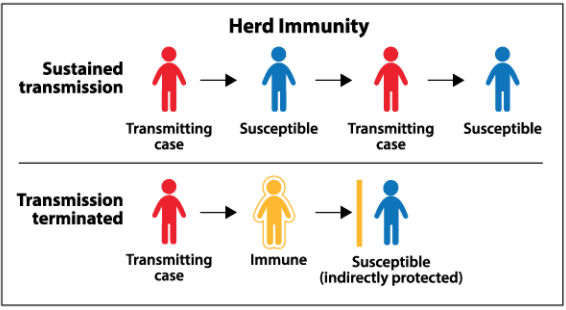 Herd immunity prevents cases of a virus from spreading among individuals because if there is a high enough number of immunized individuals, the chances of a carrier of a disease coming into contact with someone susceptible to the disease decreases dramatically.